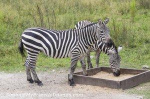 Zebras at the Billie Swamp Safari