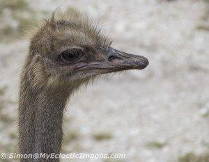 A Female Ostrich at Billie Swamp Safari