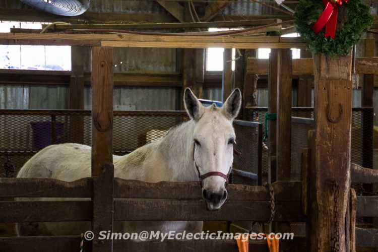 A Mule in the Palmetto Carriage Works Barn in Charleston, SC